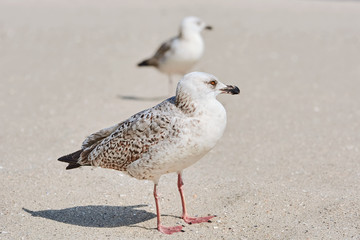 Gulls Birdlings on the Sand