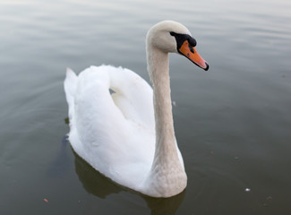 Swan in a pond in nature