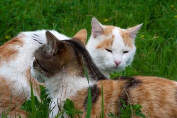 Coppia di gatti all'aperto