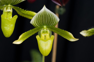 Green pitcher orchid