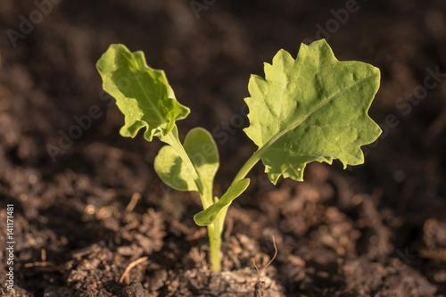 kale seedling brassica oleracea var sabellica l. Black Bedroom Furniture Sets. Home Design Ideas