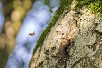 Wild Bees nesting in a hollow tree II