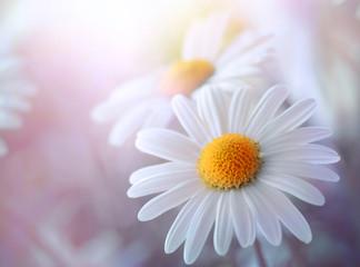 Sensual  daisy field.