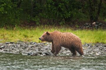 grizzly bear, ursus arctos, silvertip bear, Alaska