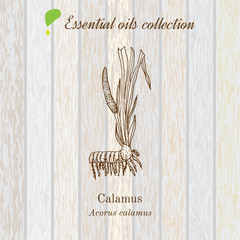 calamus, essential oil label, aromatic plant.