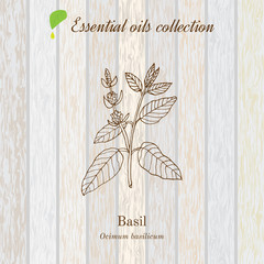 Basil, essential oil label, aromatic plant