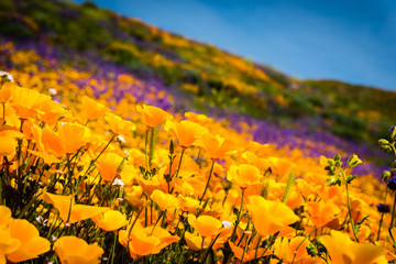 California poppies and wildflowers color the mountains during superbloom in southern California.