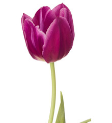 lilac tulip flower head isolated on white background
