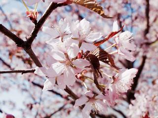 Cherry blossom, Helsinki, Finland