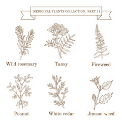 Vintage collection of hand drawn medical herbs and plants, wild rosemary, tansy, fireweed, peanut, white cedar, jimson weed