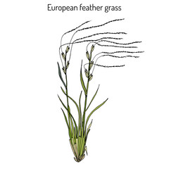 European feather grass Stipa pennata , flowering plant