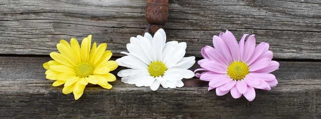 Three daisies in a row - yellow, white, light purple