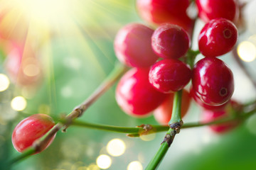 Fototapete - Red coffee beans growing on a branch of coffee tree