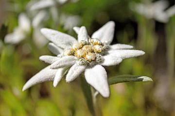 Leontopodium alpinum mountain flower.