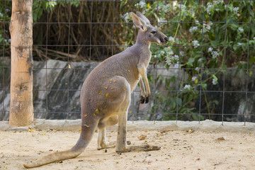 Image of a kangaroo on nature background. Wild Animals.