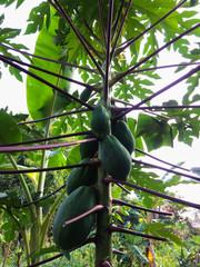 Papaya garden close up.