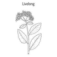 Orpine Sedum Telephium , or livelong, frog s-stomach, harping Johnny, life-everlasting, live-forever, midsummer-men, Orphan John, witch s moneybags, succulent
