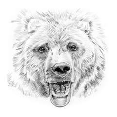 Portrait of bear drawn by hand in pencil