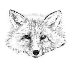 Portrait of fox drawn by hand in pencil
