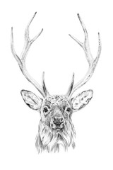 Portrait of deer drawn by hand in pencil