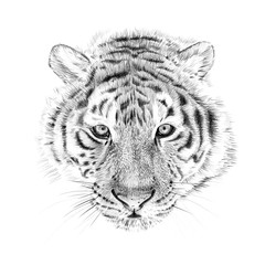 Portrait of tiger drawn by hand in pencil