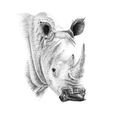 Portrait of rhino drawn by hand in pencil