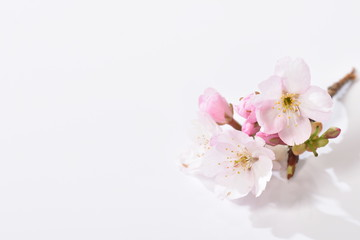 Fotobehang Kersenbloesem 桜の花