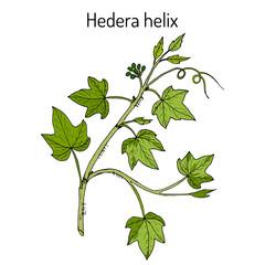English ivy Hedera helix , ornamental and medicinal plant