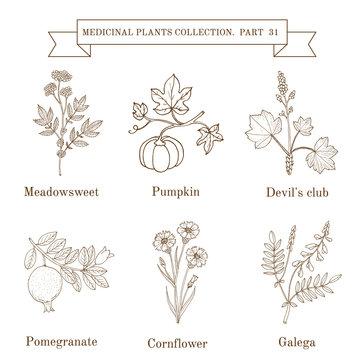 Vintage collection of hand drawn medical herbs and plants, meadowsweet, pumpkin, devil club, pomergranate, cornflower, galeda