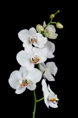 Tuinposter Orchidee White Orchid on a black background
