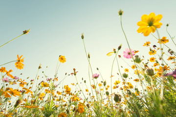 Close up yellow cosmos flower on natural blue sky background. Fresh nature.