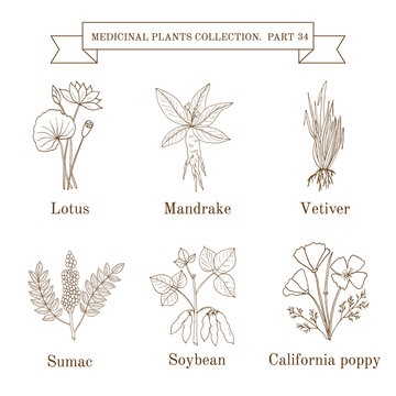 Vintage collection of hand drawn medical herbs and plants, lotus, mandrake, vetiver, sumac, soybean, calofornia poppy