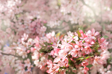 magical moments of spring/ blooming pink flowers of cherry tree