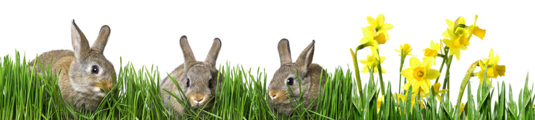 little brown rabbits eating grass