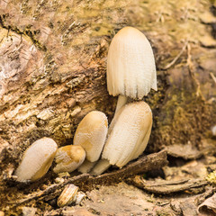 Home beetle (lat. Coprinellus domesticus) is a fungus of the family Psathyrellaceae (Psathyrellaceae) - on an old stump