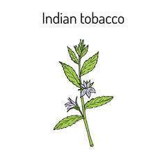 Indian Tobacco Lobelia inflata , or Asthma weed, pukeweed, gagroot, medicinal herb