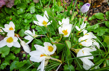 View of spring flowers crocus growing in wildlife. White crocus one of the first signs of spring.