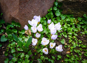 View of spring flowers crocus growing in wildlife. Purple crocus one of the first signs of spring.