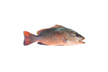 red snapper fish isolated on white background.