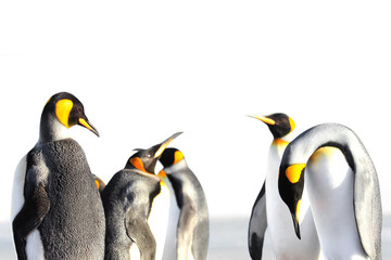 King penguin isolated, white background, on Saunders, Fakland Islands