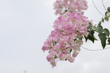 Branches with pink flowers on a background sky .