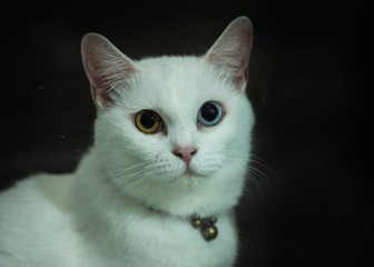 Cat with two color of eyes
