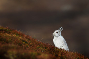 Mountain Hare with Winter coat