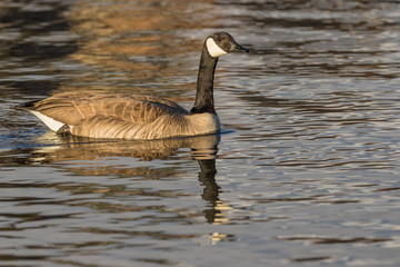 Canada Goose Reflected on a Lake
