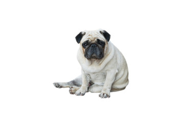 Pug Dog of clipping path selection path