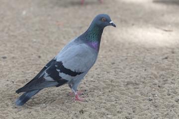 Pigeon bird in the park.
