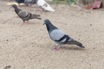 Pigeon bird in the park.