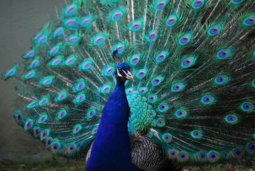 A Peacock with His Feather's Expanded