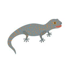 Tokay, Gecko, Calling gecko isolate white
