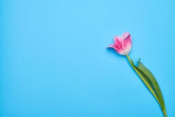 Flatlay view of a pink tulip over blue background
